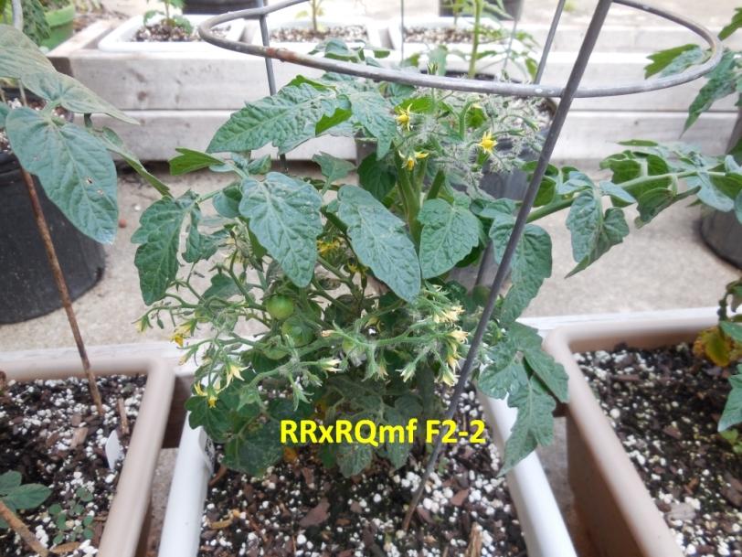 Micro-multiflora tomato!